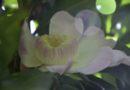 บัวสวรรค์ ต้นไม้ประจำมหาวิทยาลัยเทคโนโลยีราชมงคลธัญบุรี