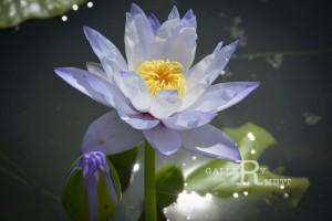 20151124-lotus065