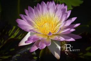 20151124-lotus068